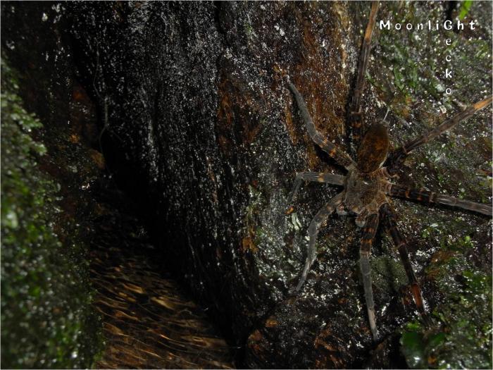 オオハシリグモ