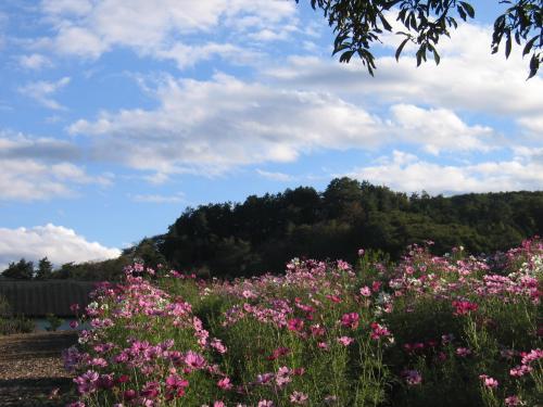 コスモスの丘