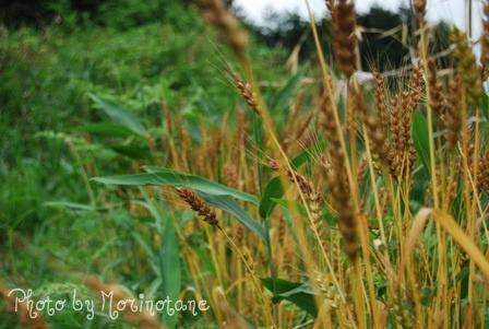 森のたね 富士山田舎暮らし 小麦刈入れ1