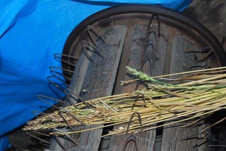 森のたね 富士山田舎暮らし 小麦1