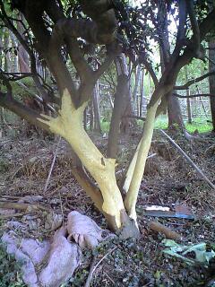 森のたね 富士山田舎暮らし 樹皮剥ぎ