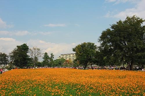 武庫川コスモス園 ④