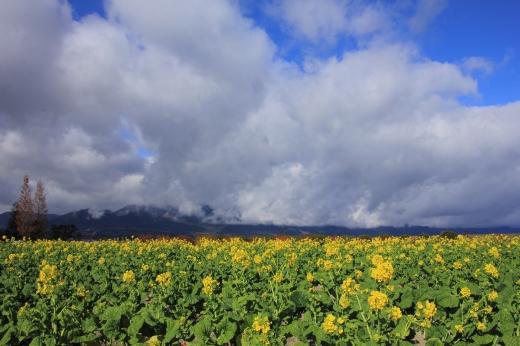201112菜の花 ①