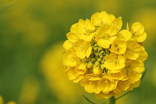 201112菜の花 ③