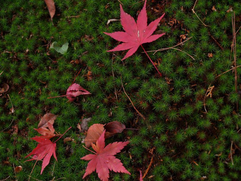 杉苔と紅葉