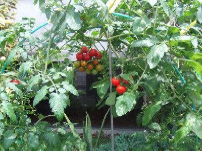 2010_0705プチトマト
