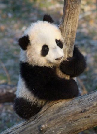 木に抱き着くパンダがかわいい