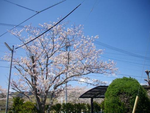 我が家の桜1