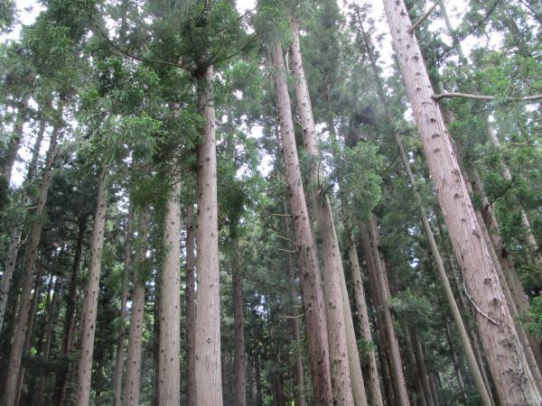 まっすぐなブナの木
