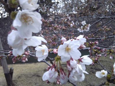 皇居の桜_convert_20120406020143