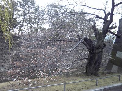 皇居の桜2_convert_20120406020454