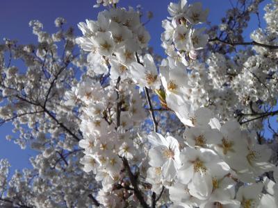 ryuuounosakura_convert_20120416013839.jpg
