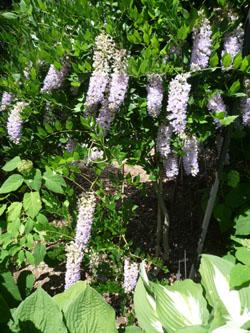 wisteria_100529_250