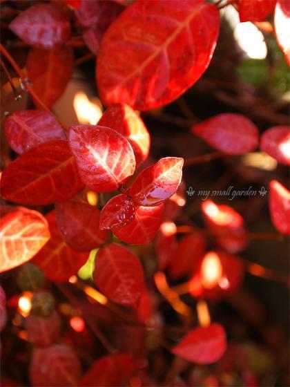 ハツユキカズラの紅葉