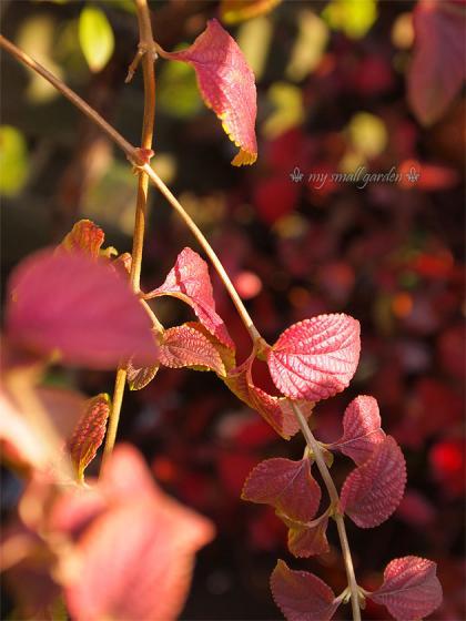 コバノランタナの紅葉