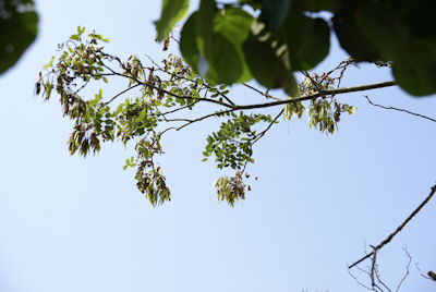 0906-2エンジュの木
