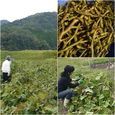 黒豆枝豆収穫