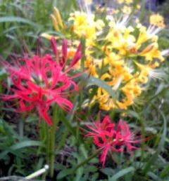 赤と黄の彼岸花