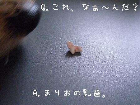 まりおの乳歯。