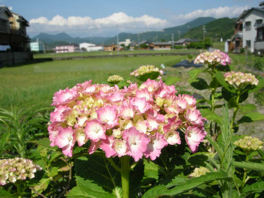 top-azisai10.jpg