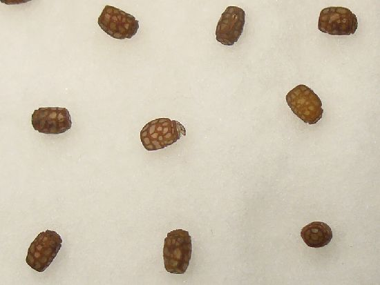 ヤスマツトビナナフシの卵