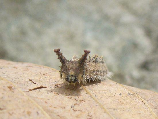 オオムラサキの越冬幼虫(目覚め)