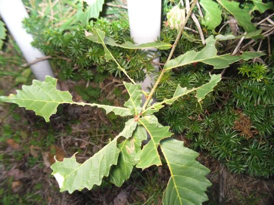 ミズナラの葉の食痕