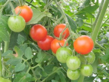 2011.10.18 トマト