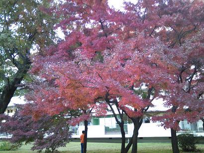 庭の紅葉3