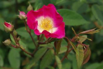 薔薇 デア