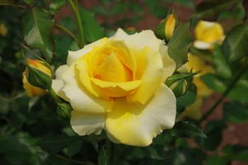 薔薇 ゴールドバニー