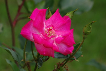薔薇 ラビアンローズ
