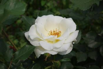 薔薇 ホワイトマジック