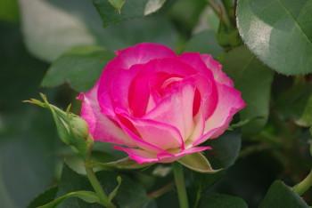 薔薇 ボーダーローズ