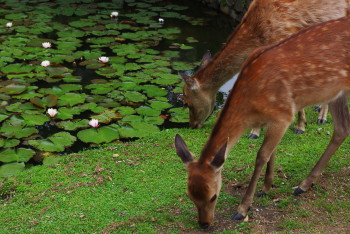 スイレンとナツ毛の鹿