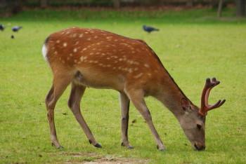 角の生えた鹿
