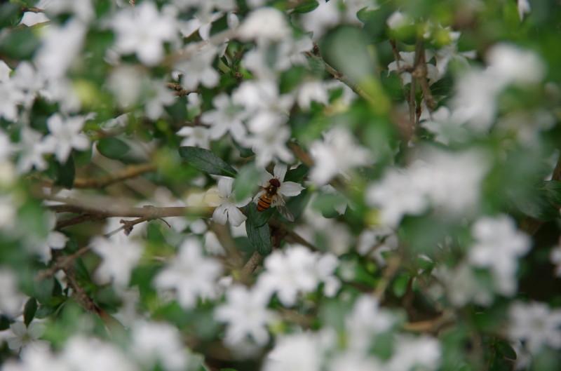 がんせんじ 白丁花とミツバチ
