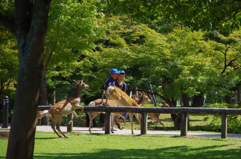 奈良公園 飛ぶ鹿