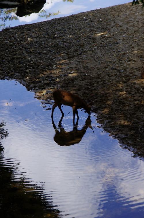 奈良公園 水辺の鹿1