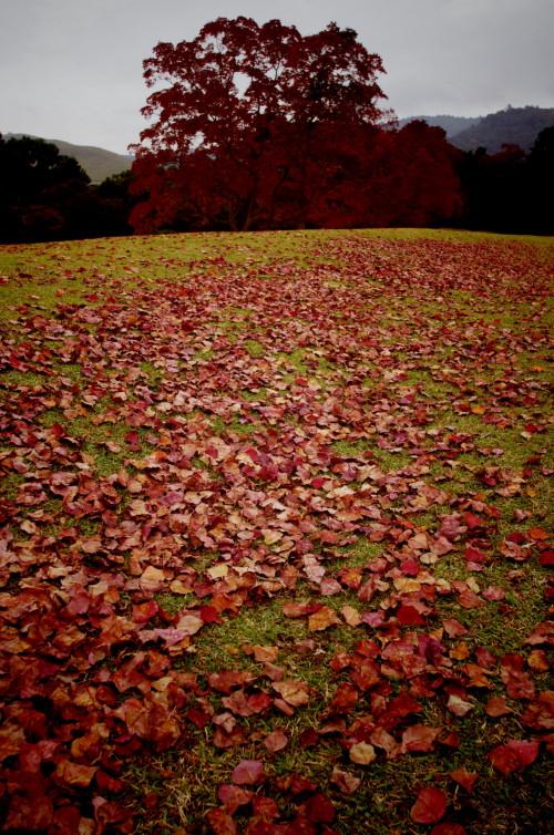 奈良公園 ナンキンハゼ落葉0