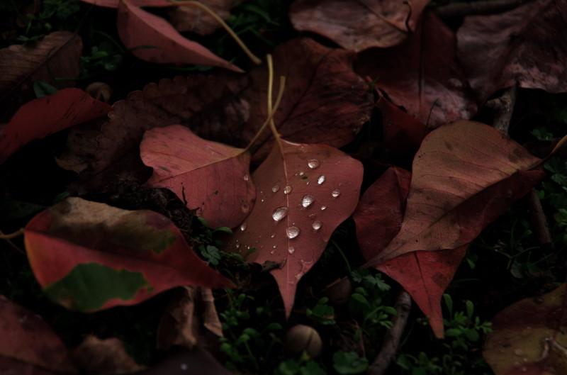 奈良公園 ナンキンハゼ落葉 雨滴