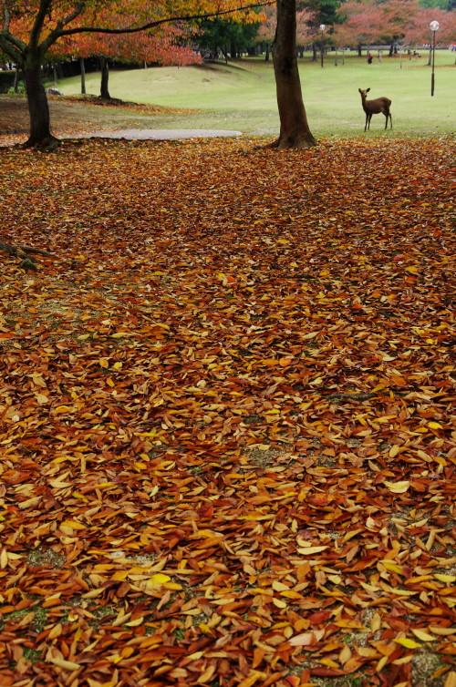 奈良公園 欅落葉と鹿