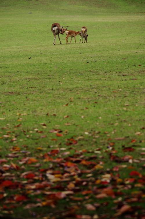 奈良公園 ラストバンビの親子