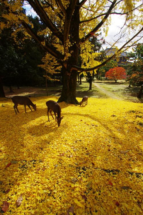 大仏殿遠景と銀杏の落ち葉