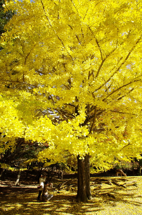 奈良公園 東塔跡園地の銀杏