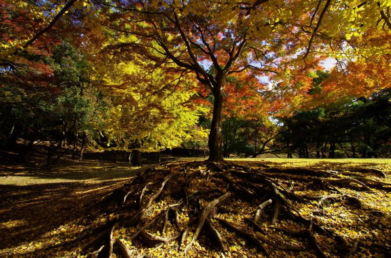 奈良公園 東塔跡園地のもみじ