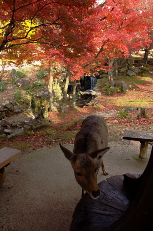 奈良公園 吉城川 鹿