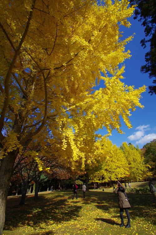 奈良公園 東塔跡園地の銀杏1