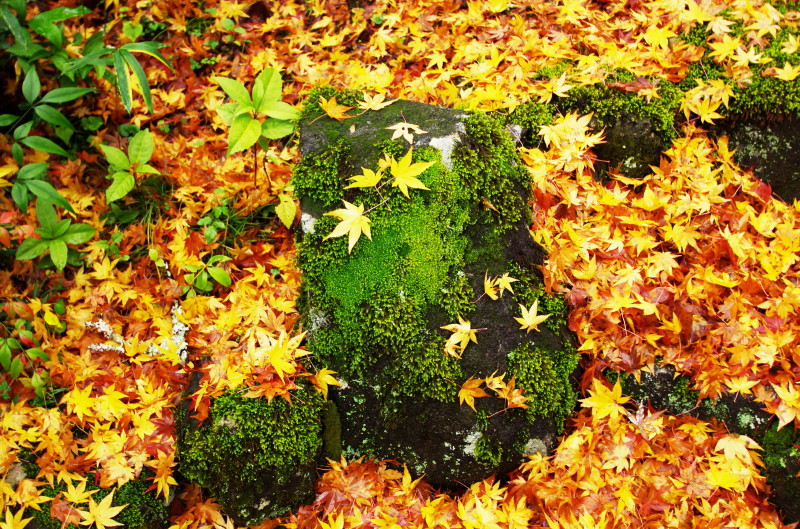 やまのべ 玄賓庵 椛の落ち葉