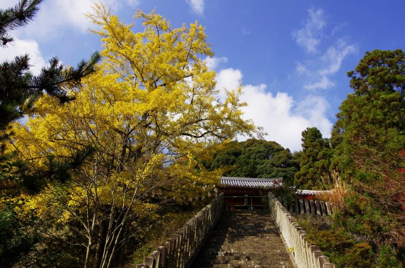 松尾寺 銀杏